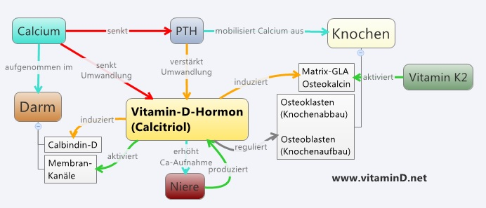 Vitamin D Calcium Regulation