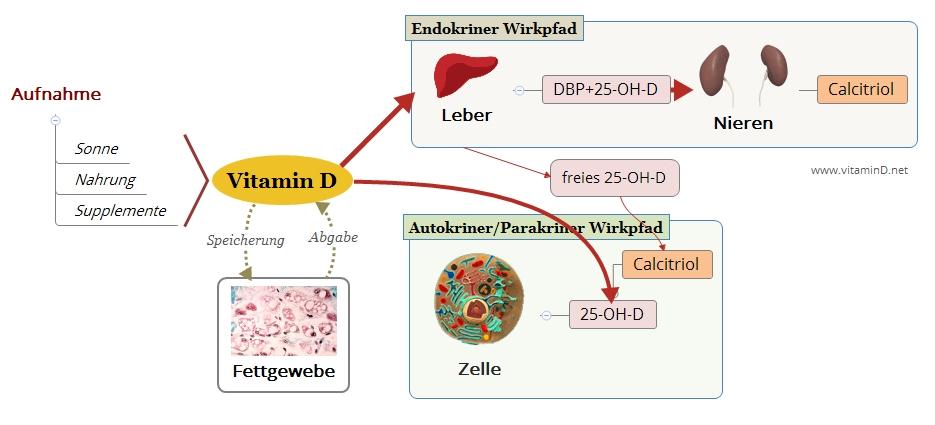 Vitamin-D-Wirkpfade