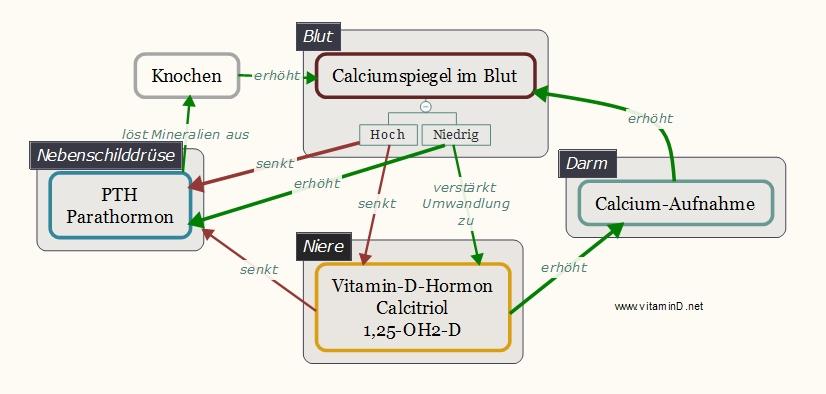 Vitamin D PTH-Regulation