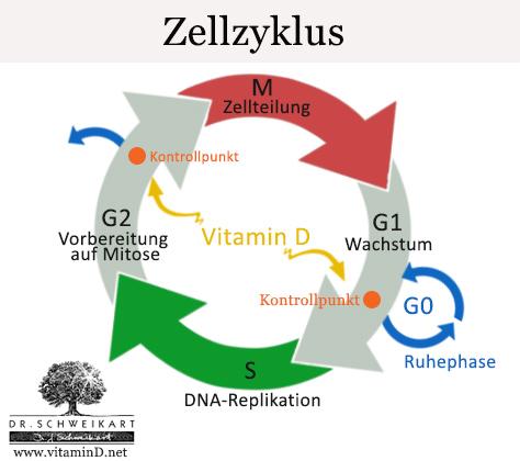 Zell-Zyklus